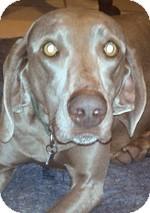 Weimaraner Dog for adoption in St. Louis, Missouri - Bullet
