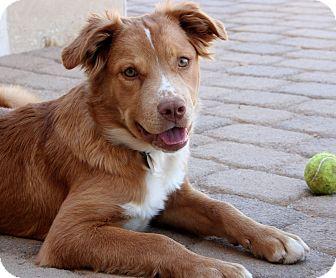 Australian Shepherd/Labrador Retriever Mix Puppy for adoption in Scottsdale, Arizona - Xena
