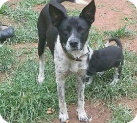 Australian Cattle Dog Mix Dog for adoption in Richmond, Virginia - Coco