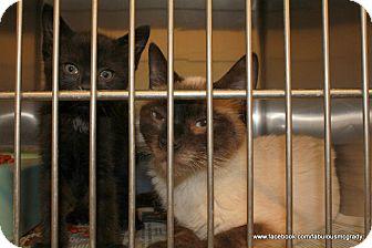 Siamese Cat for adoption in Crumpler, North Carolina - Isis