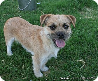 Border Terrier/Terrier (Unknown Type, Small) Mix Dog for adoption in Patterson, California - Charlotte