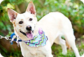 Australian Cattle Dog/Labrador Retriever Mix Dog for adoption in Houston, Texas - Honey