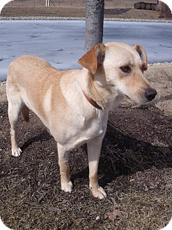 Labrador Retriever Mix Dog for adoption in Salem, Massachusetts - Casey