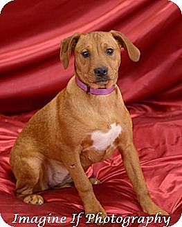 Terrier (Unknown Type, Medium)/Pit Bull Terrier Mix Dog for adoption in Blanchard, Oklahoma - Shyanne