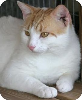 Domestic Shorthair Cat for adoption in North Fort Myers, Florida - Squiggy