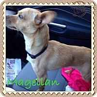 Adopt A Pet :: Magellan - Los Angeles, CA