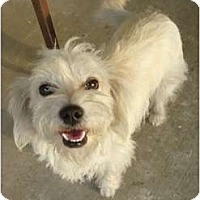 Adopt A Pet :: Sweetie - Arlington, TX