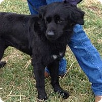 Adopt A Pet :: Blacky - Denver, CO