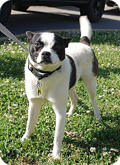Boston Terrier Mix Dog for adoption in Plainfield, Connecticut - Bosworth !In New England!