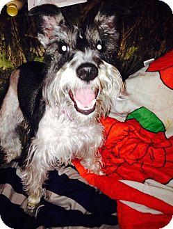 Schnauzer (Miniature) Puppy for adoption in Hazard, Kentucky - Tiara