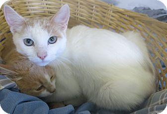 Domestic Shorthair Cat for adoption in Buena Vista, Colorado - Flounder
