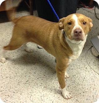 Pit Bull Terrier Dog for adoption in Hazard, Kentucky - Abby