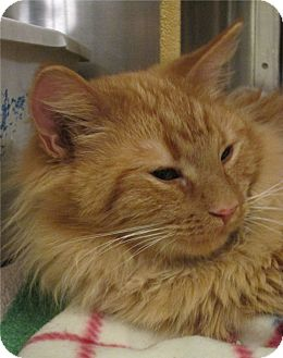 Domestic Longhair Cat for adoption in Pueblo West, Colorado - Lewis