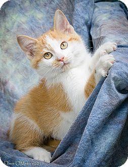 Domestic Mediumhair Kitten for adoption in Anna, Illinois - CALYPSO