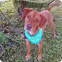 Adopt A Pet :: Carrot Top (Cary) - Paducah, KY