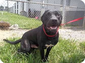 Labrador Retriever Dog for adoption in Greenville, Kentucky - Pudgy