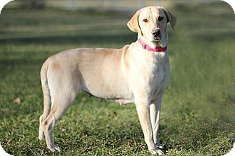 Labrador Retriever Dog for adoption in Midland, Michigan - Chloe