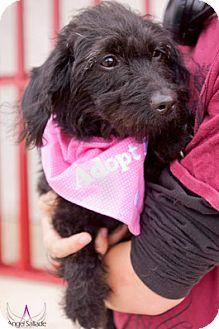 Scottie, Scottish Terrier/Dachshund Mix Dog for adoption in Bloomington, Illinois - DeeDee