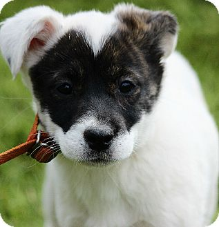 Australian Shepherd/Labrador Retriever Mix Puppy for adoption in Harrisonburg, Virginia - Tilly