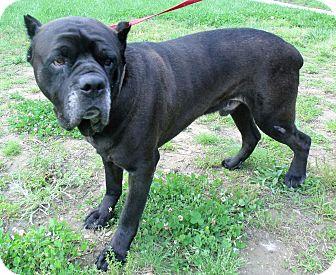 Cane Corso Mix Dog for adoption in Waldorf, Maryland - Kane