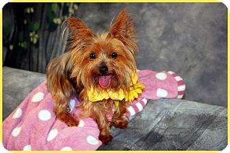 Yorkie, Yorkshire Terrier Dog for adoption in Dallas, Texas - Maggie