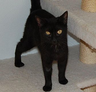 Domestic Shorthair Cat for adoption in Brainardsville, New York - Baby Girl