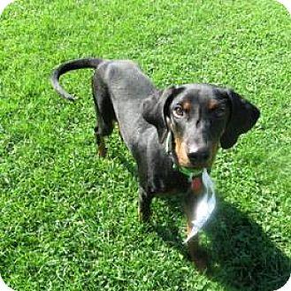 Doberman Pinscher Puppy for adoption in Janesville, Wisconsin - Kali