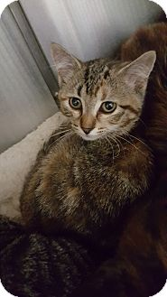 Domestic Shorthair Cat for adoption in Cody, Wyoming - Amethyst