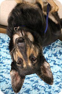 German Shepherd Dog Dog for adoption in Muskegon, Michigan - Tooko