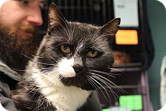 Domestic Shorthair Cat for adoption in Warwick, Rhode Island - Ace