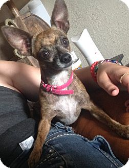Chihuahua Mix Dog for adoption in Zolfo Springs, Florida - Bambi