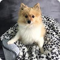 Adopt A Pet :: Solar - Dallas, TX