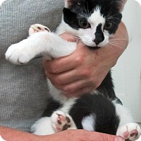 Adopt A Pet :: Chaos Playful, Loving, Lively Kitten - Brooklyn, NY