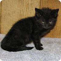 Domestic Shorthair Kitten for adoption in Harrisburg, Pennsylvania - Briley (baby boy)