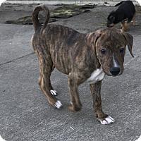 Adopt A Pet :: Brynn - Tumwater, WA