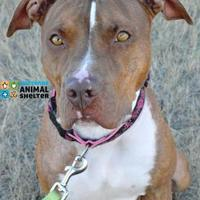 Adopt A Pet :: Nova - Cheyenne, WY