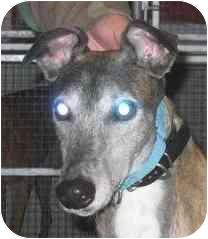 Greyhound Dog for adoption in Gerrardstown, West Virginia - Frontier