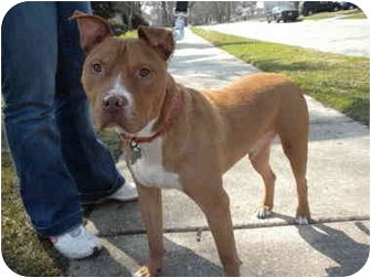 American Pit Bull Terrier Dog for adoption in Detroit, Michigan - Jake