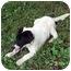 Photo 1 - Labrador Retriever Mix Dog for adoption in Cole Camp, Missouri - Dakoda