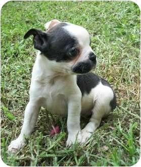 Boston Terrier/Scottie, Scottish Terrier Mix Puppy for adoption in Umatilla, Florida - Beauty