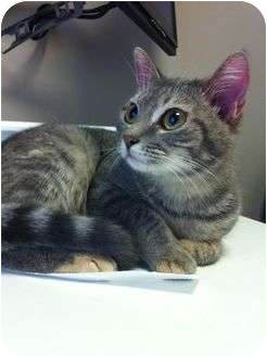 Domestic Shorthair Cat for adoption in Hamilton, Ontario - Daphne