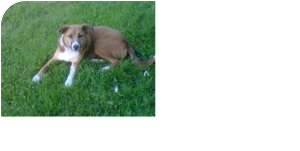 Collie Mix Dog for adoption in Marion, Indiana - WILLOW-URGENT
