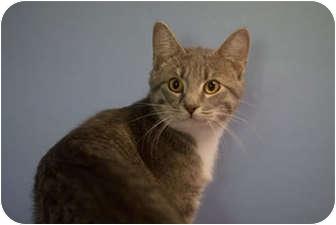 Domestic Shorthair Cat for adoption in Murphysboro, Illinois - Victor