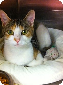 Domestic Shorthair Cat for adoption in Pittstown, New Jersey - Tiger Lily