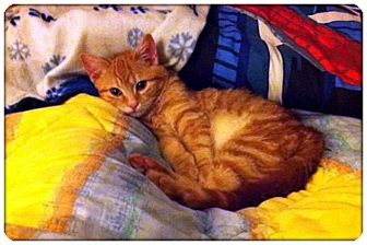 Domestic Shorthair Cat for adoption in Sterling Heights, Michigan - Franklin - ADOPTED!