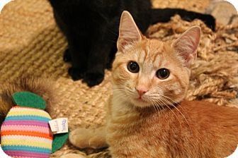 Domestic Shorthair Kitten for adoption in Edgewater, New Jersey - Gus