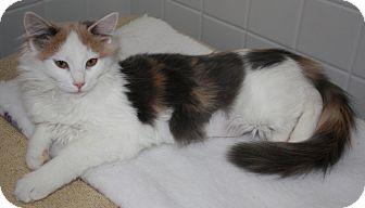 Maine Coon Kitten for adoption in Davis, California - Piper