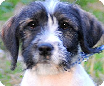 "Terrier (Unknown Type, Small) Mix Puppy for adoption in Wakefield, Rhode Island - PATRIOT(ADORABLE ""SCRUFFY"" PUP"