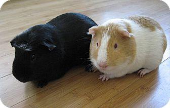 Guinea Pig for adoption in Fullerton, California - Bingo and Custer