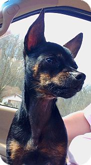 Chihuahua Dog for adoption in Hazard, Kentucky - Porkchop